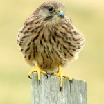 Kestrel on fence post