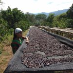 Local girl and the drying coffee cherries.