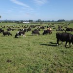 Charlies cows