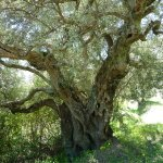 A wonderfully formed olive tree.