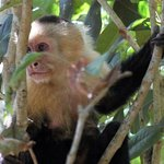 White-faced monkey at Manuel Antonio National park