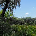 live oak and palms in the maritime hammock area of the nature trail