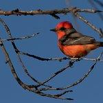 Aravaipa Farms is a birders paradise. Here's a Vermillion Flycather guest Nick Hajdukovich spott