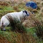 A sheep we encountered on our travels to Rockcrest House B&B.