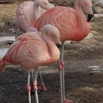 Sleepy Shaky Flamingos