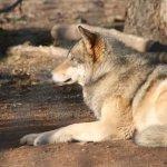 California Wolf Center