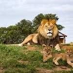 Lion cubs with their dad