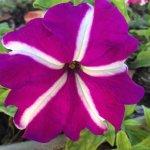 Lavender colour flower
