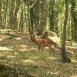 Un daino nei boschi della tenuta
