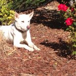 Sheba loves the Red Roof Inn! They have beautiful roses around the pool area!