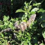 Iguana in a bush several feet from our patio.
