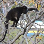 Howler monkey in tree outside apartment.