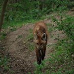 Superbe loup à crinière