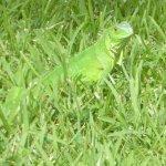 Iguana in Wilhelmina Park