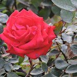 more than 800 varieties of Roses