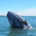 a grey whale, actually looking at us before heading over to our boat so we could touch her