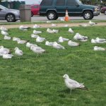 Seagulls are resting with humans too