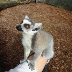 My pet lemur (Hamilton Zoo; $15 for meet, greet and feed them)