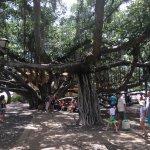 Please don't climb the Banyan Tree