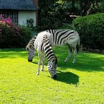 Zebras on our lawn