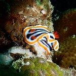 Activities- Diving- Nudibranch