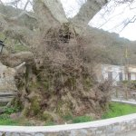 The 2000 year old tree