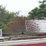 Magnificient plumage