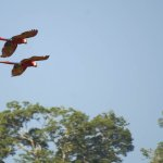 Scarlet Macaws soared over the deck of our bungalow.