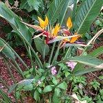 Bird of Pardise in bloom around the hotel