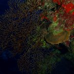 Sea coral fans