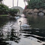 The beautiful SWANS at SON'Z