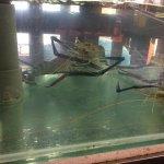 Giant prawns in tank