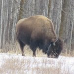 A bison seen from our vehicle on the Bison Loop