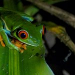 A night hiking tour introduced us to a Red-eyed Tree Frog.
