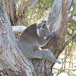 Cute sleeping koalas