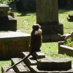 Monkey at the Kandy Garrison Cemetery