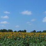 Fields and fields of sunflowers!
