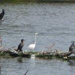 Cormorants, Flamingo