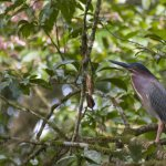 A Green Heron was just one of the colorful birds we enjoyed after lunch at Rancho Perla.