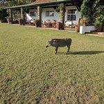 A warthog visits the main house