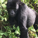 Our first gorilla