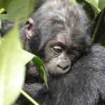 Baby gorilla - 4 months old