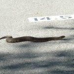 Three foot cottonmouth at 14.5 mile marker