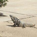 Pedro, resident iguana.