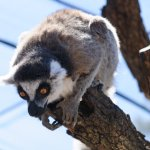 Intense Lemurs