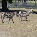 Baby Zebra & Mom