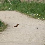 Stoat running along the path
