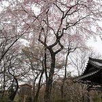 三代目西行桜