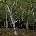 The enchanting forest of Russian birches