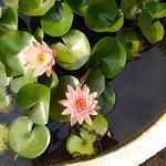 Lotus in garden